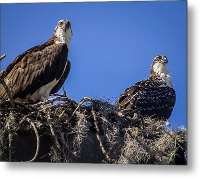 Ospreys In The Nest Metal Print by Zina Stromberg