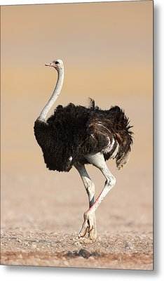 Ostrich Metal Print by Johan Swanepoel