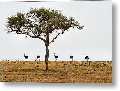Ostrich Walk Metal Print by Joe Bonita
