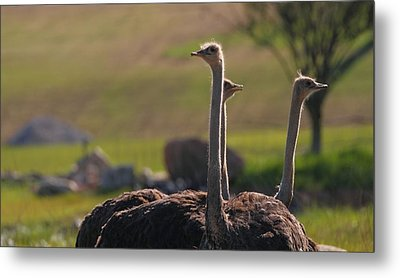 Ostriches Metal Print by Dan Sproul
