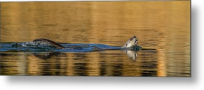 Metal Print featuring the photograph Otter Catch by Yeates Photography