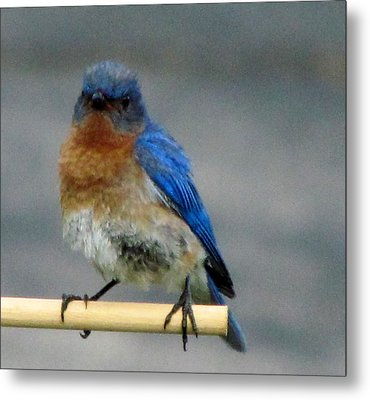 Our Own Mad Bluebird Metal Print