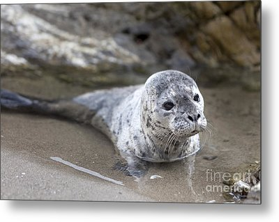 Out For A Swim Metal Print by David Millenheft