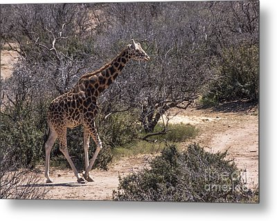 Out Of Africa Giraffe Metal Print by Janice Rae Pariza