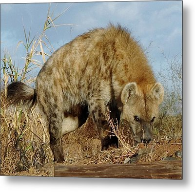 Out Of Africa Hyena 1 Metal Print