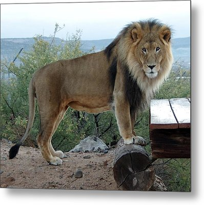 Out Of Africa  Lion 1 Metal Print