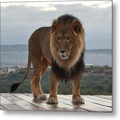 Out Of Africa Lion 3 Metal Print