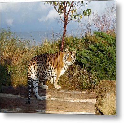 Out Of Africa  Tiger 1 Metal Print