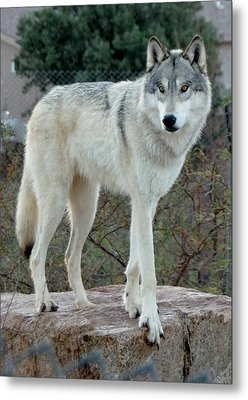 Out Of Africa Wolf  Metal Print