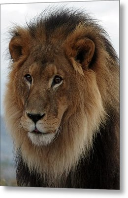 Out Ofafrica  Lion 4 Metal Print