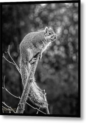 Out On A Limb Squirrel Metal Print