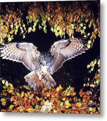 Owl About To Land Metal Print by Manfred Danegger