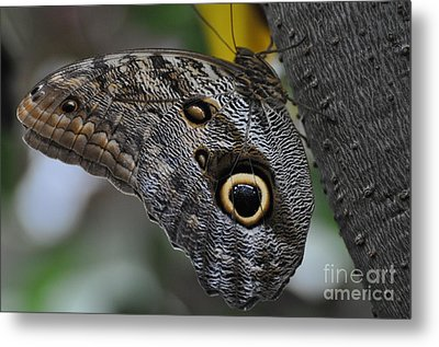 Metal Print featuring the photograph Owl Butterfly by Bianca Nadeau