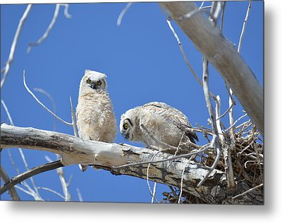 Owlets In White Metal Print