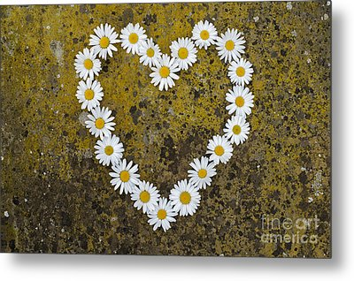 Oxeye Daisy Heart Metal Print by Tim Gainey