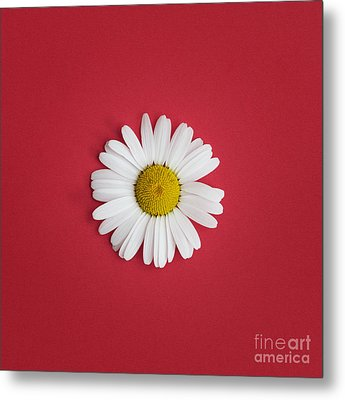 Oxeye Daisy Square Red Metal Print