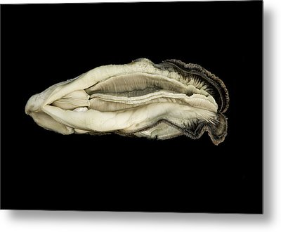Oyster Suspended In Darkness Metal Print by Andy Frasheski