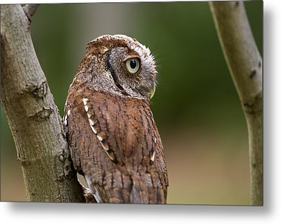Metal Print featuring the photograph Pablo The Screech Owl by Arthur Dodd