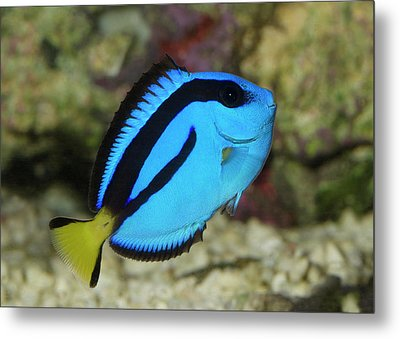Pacific Blue Tang Metal Print by Nigel Downer