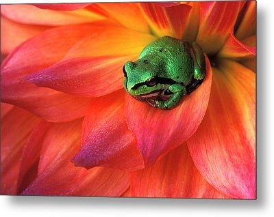 Pacific Chorus Frog On Dahlia Metal Print