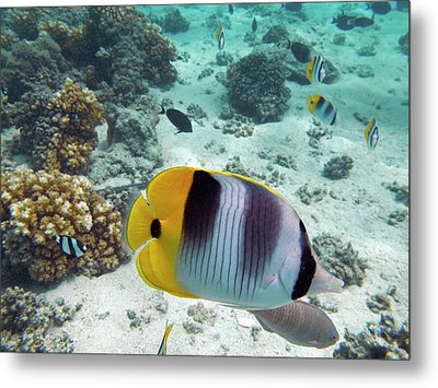 Pacific Double-saddle Butterflyfish Metal Print