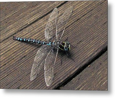 Pacific Forktail Metal Print by I'ina Van Lawick