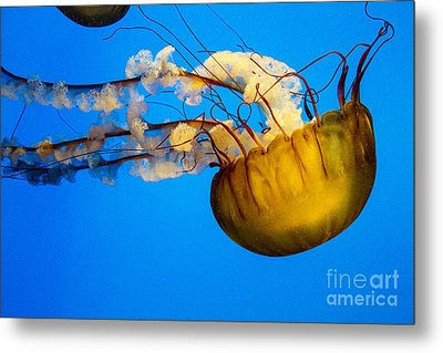 Pacific Nettle Jellyfish Metal Print