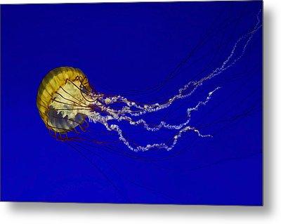 Pacific Sea Nettle Metal Print