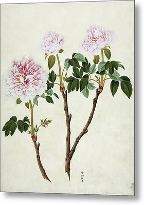 Paeonia Moutan, 19th-century Artwork Metal Print by Science Photo Library