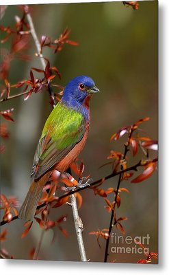 Painted Bunting - Male Metal Print