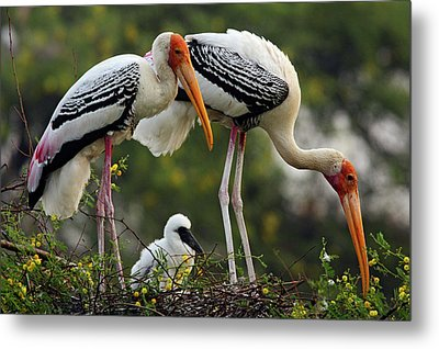Painted Storks & Young One Metal Print by Jagdeep Rajput