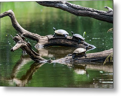 Painted Turtles  Chrysemys Picta Metal Print by Robert L. Potts