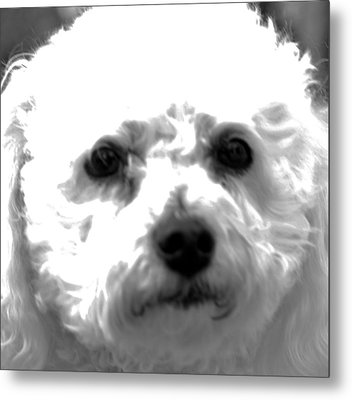 Metal Print featuring the photograph Painterly Bichon Frise by Patrice Zinck