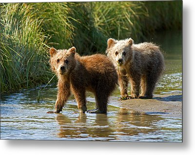 Pair Of Cubs Metal Print
