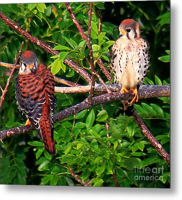 Caribbean Falcons Metal Print by The Art of Alice Terrill