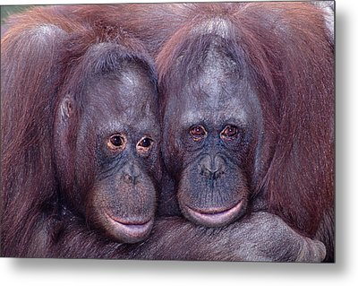 Pair Of Orangutans Metal Print by Robert Jensen