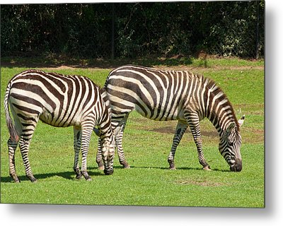 Metal Print featuring the photograph Pair Of Zebras by Charles Beeler