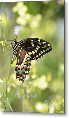 Palamedes Swallowtail 2 Metal Print by Kathy Gibbons