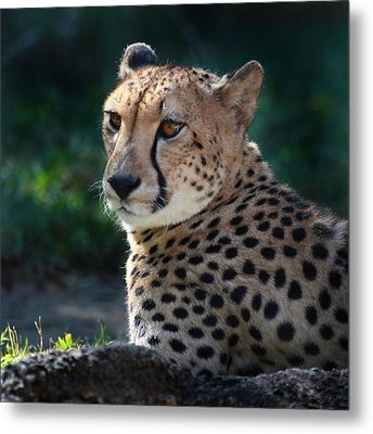 Pampered Kitty Metal Print by Joseph G Holland