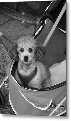 Metal Print featuring the photograph Pampered Poodle by Cassandra Buckley