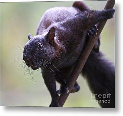 Panamanian Tree Squirrel Metal Print by Heiko Koehrer-Wagner