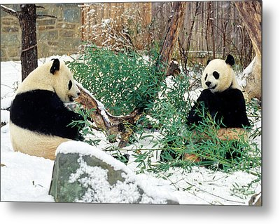 Panda Bears In Snow Metal Print