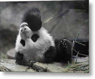 Panda Cub At National Zoo Metal Print