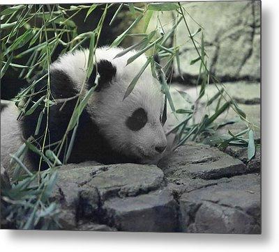 Panda Cub Bao Bao Metal Print by Jack Nevitt