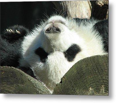 Panda Playing Possum Metal Print by Cleaster Cotton