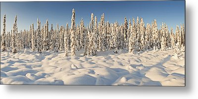 Panoramic View Of Snow-covered Spruce Metal Print by Ray Bulson