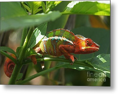 Metal Print featuring the photograph Panther Chameleon Madagascar 1 by Rudi Prott