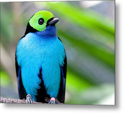 Metal Print featuring the photograph Paradise Tanager by Nathan Rupert