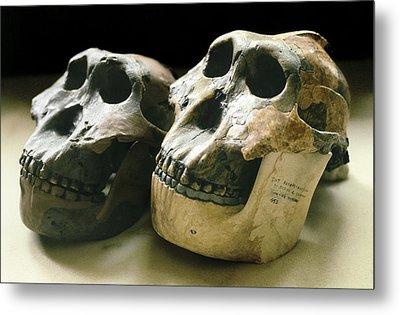 Paranthropus Boisei Skulls Metal Print by Science Photo Library