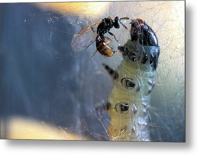 Parasitic Wasp On Leafroller Larva Metal Print by Stephen Ausmus/us Department Of Agriculture